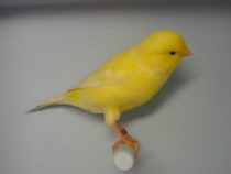 OBR: Žlutý kanárek